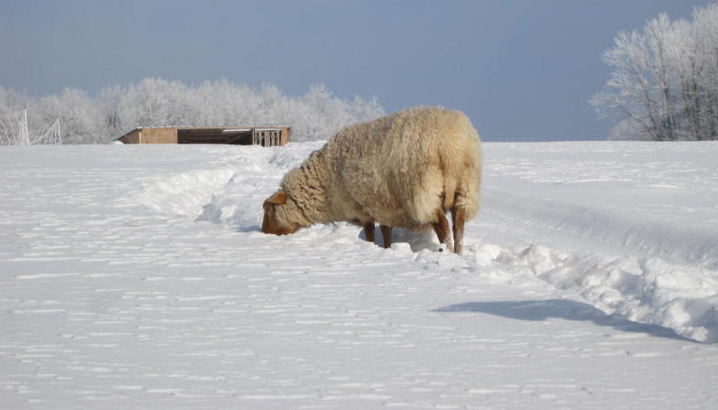 schaap_in_sneeuw